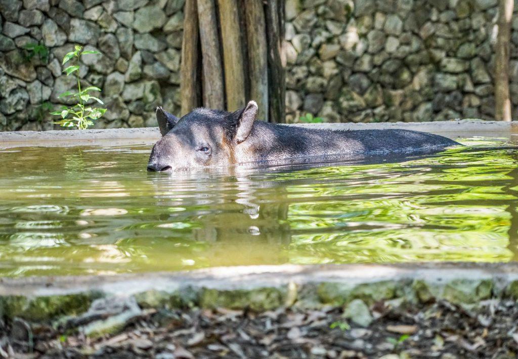 Das Wahrzeichen des Corcovado Nationalparks: Der Tapir !